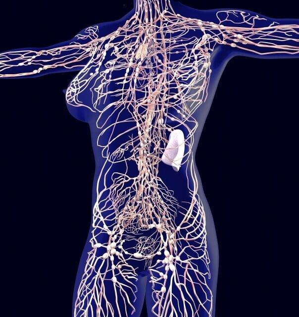 人体のリンパ のイメージ